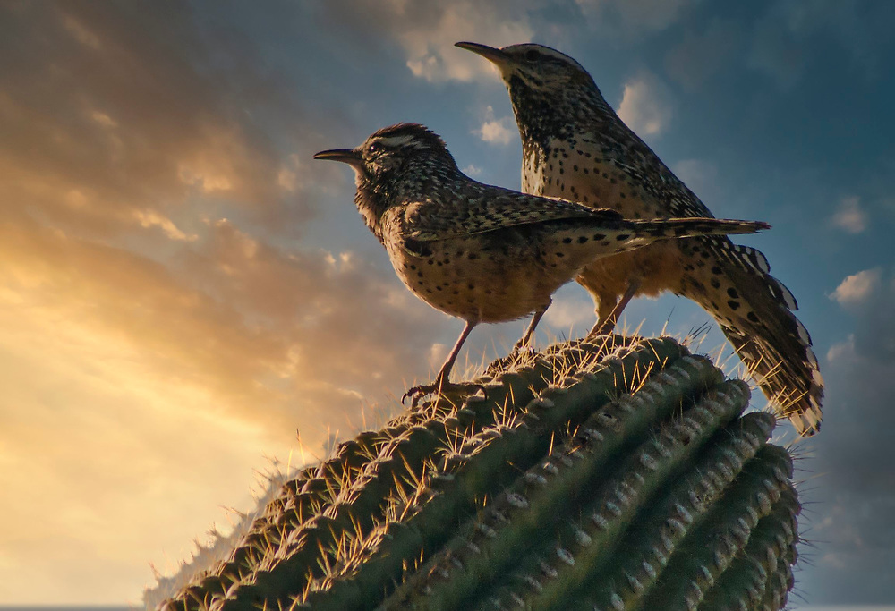 A pair of cactus wrens contemplate the sunset