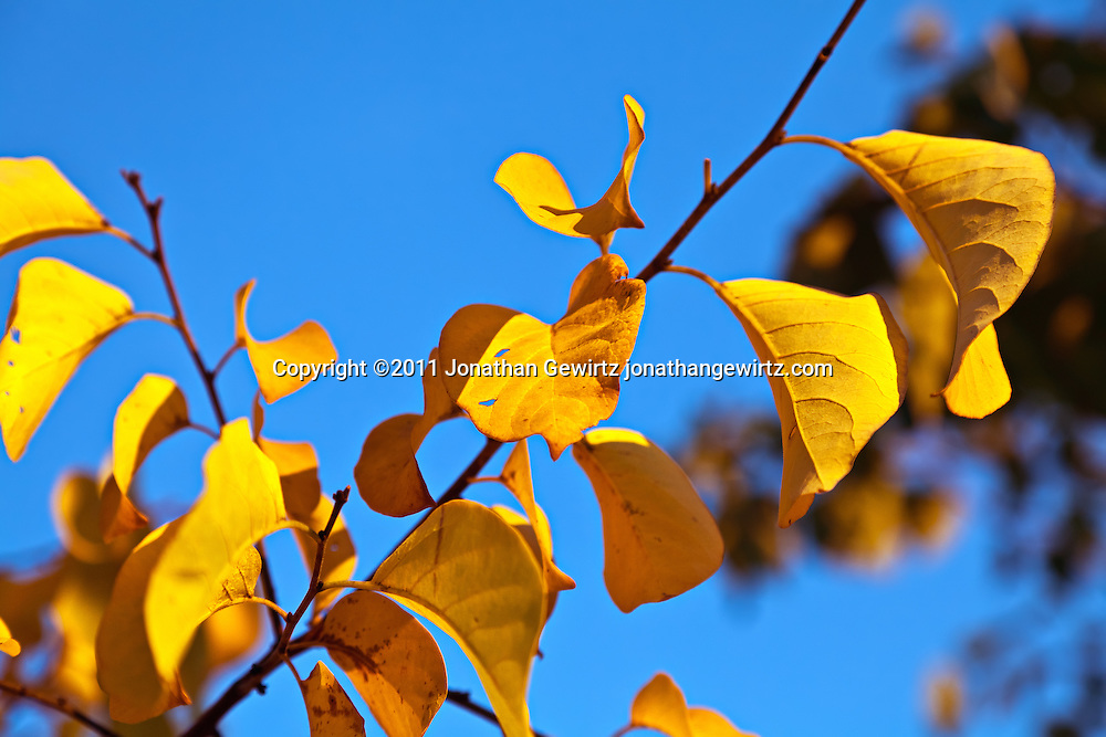 A tree branch with yellow leaves against a blue sky background. WATERMARKS WILL NOT APPEAR ON PRINTS OR LICENSED IMAGES.