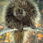 Porcupine, (Erethizon dorsatum) In aspen tree, Portrait of adult. Fall.   Captive Animal.