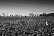 Lonely swan sitting in a field // Een eenzame zwaan in een weiland.