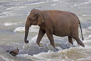 Female asian elephant walking upriver through fast flowing water, Pinnewala, Sri Lanka