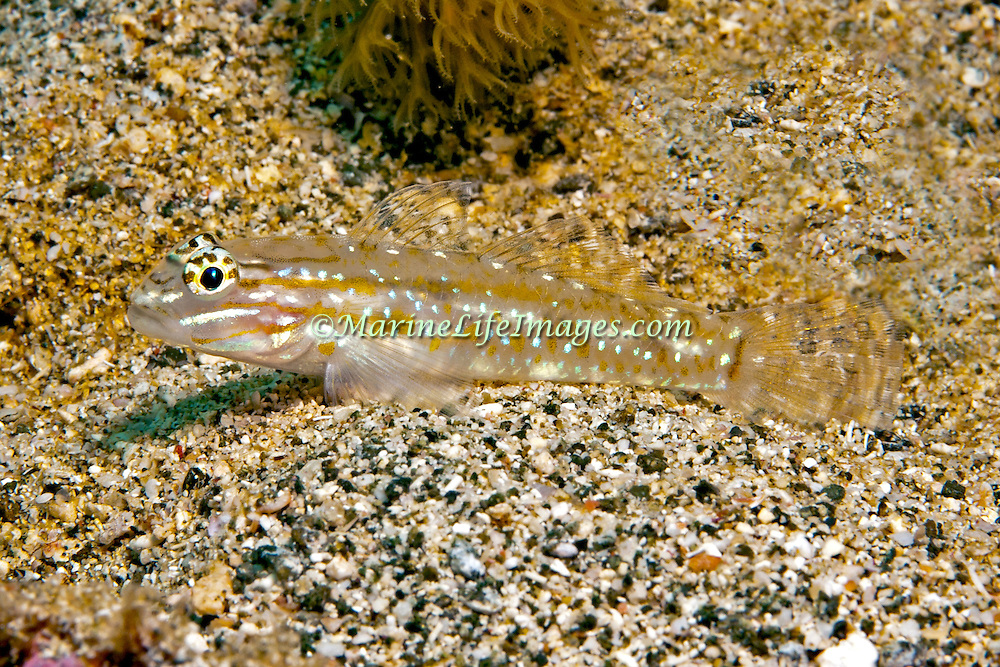 Sand-Canyon Goby inhabit deep clearwater areas of sand and rubble around reefs, often in areas of current in Tropical West Atlantic; picture taken Tobago.