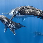 Male humpback whale calf relaxing with his mother and an escort whale in the background.