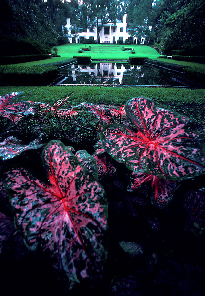 Stock photo of elephant ear plants in the garden at Bayou Bend Park in Houston Texas
