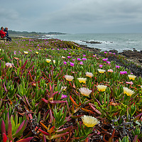 Iceplant (Carpobrotus edulis)  blooms along the Pacific Ocean at Bean Hollow State Beach near Pescadero, California.  This invasive species has taken over the biomass of many parts of the California coast.