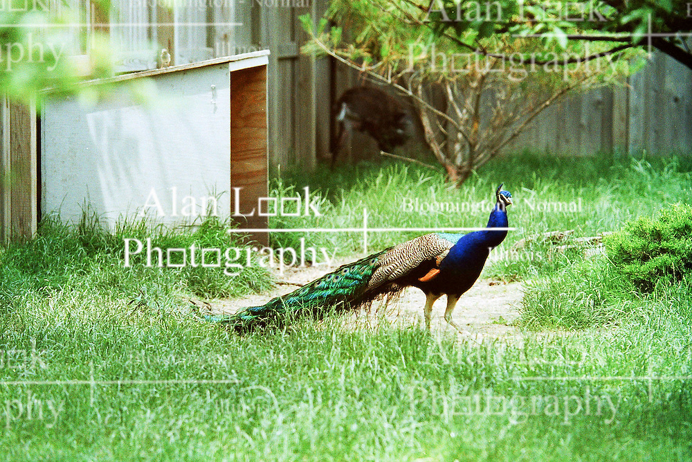 10 June 2001: Miller Park Zoo<br /> peacock<br /> Archive slide, negative and print scans.