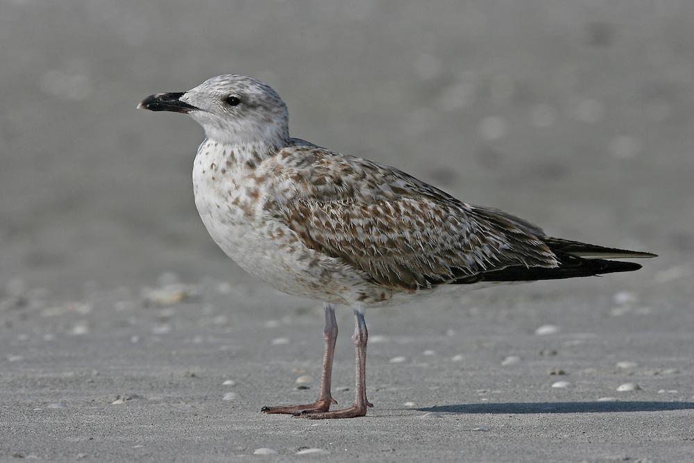 Lesser Black-backed Gull - Larus fuscus - 1st winter