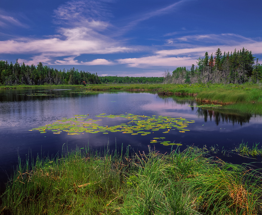 Pond with bullhead lilies & rushes, surrounded by spruce, blue sky & water, Steuben, ME