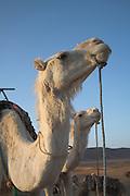 Heads of camels Sahara desert, Zagora, Morocco