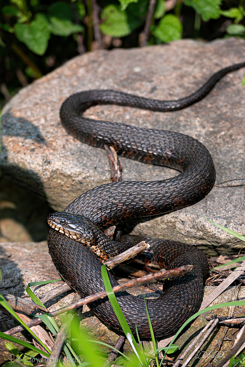 This female Northern Water Snake (Nerodia sipedon) is basking on warm rocks in the morning sun.  Northern Water Snakes are found throughout eastern and central North America, from southern Ontario and southern Quebec in the north, to Texas and Florida in the south.  They can grow up to 135 cm (4 ft 5 in) in total length.  Adult females can weigh up to 408 g (14.4 oz) in average body mass while the smaller males average up to 151 g (5.3 oz). The largest females can weigh up to 560 g (20 oz) while the largest males are 370 g (13 oz). <br /> <br /> The northern water snake is nonvenomous but can give a painful bite.  They superficially resemble the venomous cottonmouth and are often misidentified. Being active during the day and night, they hunt using both smell and sight. During the day, they hunt among plants at the water's edge, looking for small fish, frogs, worms, leeches, crayfish, salamanders, small birds and mammals. At night, they concentrate on minnows and other small fish sleeping in shallow water.