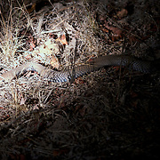 Cape cobra also called the yellow cobra. Timabavati Game Reserve, South Africa