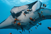 A Giant Manta gets cleaned by Clarion Angelfish<br /> <br /> Shot in Mexico