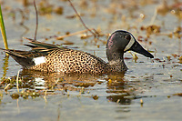 Blue-winged Teal (Anas discors), male, Arthur R Marshall National Wildlife Reserve - Loxahatchee, Florida, USA.    Photo: Peter Llewellyn