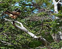 Chimango Caracara (Milvago chimango). Ensenada Zaratiegui bay. Tierra del Fuego National Park. Image taken with a Nikon Df camera and 80-400 mm lens.
