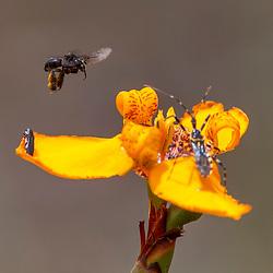 Insetos em flor (registro) fotografado no Parque Nacional da Chapada dos Veadeiros - Goiás. Bioma Cerrado. Registro feito em 2015.<br /> ⠀<br /> ⠀<br /> <br /> <br /> <br /> <br /> <br /> ENGLISH: Insects on flower photographed in Chapada dos Veadeiros National Park - Goias. Cerrado Biome. Picture made in 2015.