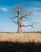 A Baobab tree standing tall in the countryside, near to Djenné, Mali