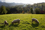 Sheep graze on agricultural land above a village that overlooks the Tatra mountains, on 16th September 2019, in Koscielisko, Zakopane, Malopolska, Poland.