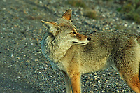 Coyote. Image taken with a Nikon D3 camera and 80-400 mm VR lens (ISO 1100, 400 mm, f/11, 1/400 sec).
