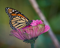Monarch Butterfly on a Pink Flower. Autumn Backyard Nature in New Jersey. Image taken with a Nikon D810a camera and 300 mm f/4 lens (ISO 200, 300 mm, f/5.6, 1/320 sec)