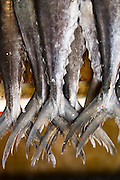 Detail of the tails of tuna fish on sale at the Mercado de Mariscos (Fish Market) in Ensenada, Baja California Norte, Mexico.