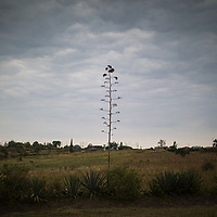 Sisal plants that line the edges of fields and roads send up spectacular seed heads. Sisal fibre is used for making sacks and rope.