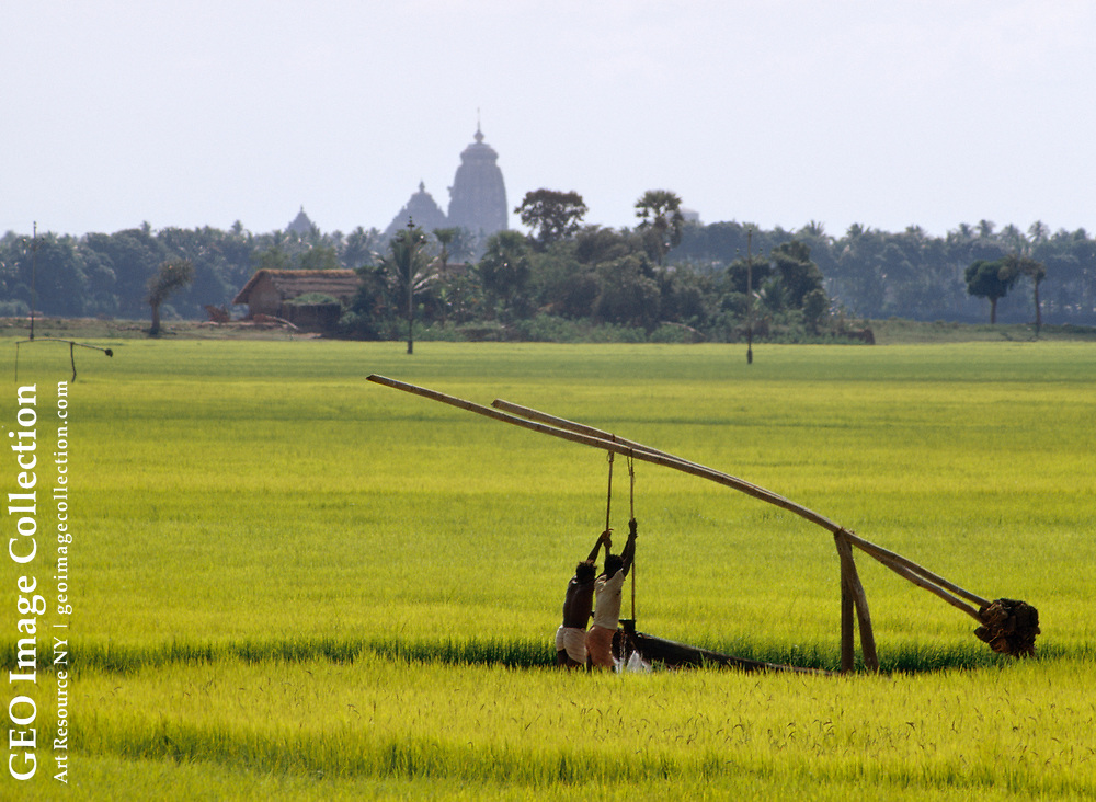 Rice farmers irrigating a paddy. Temple in the distance.