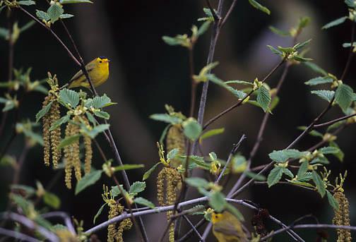 Wilson's Warbler (Wilsonia pusilla) in southeastern Alaska.