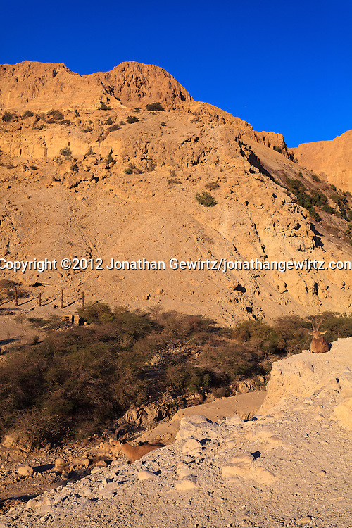 A pair of Nubian ibexes (Capra nubiana) resting on a ledge above the entrance to the Nahal David canyon in the Ein Gedi nature preserve. WATERMARKS WILL NOT APPEAR ON PRINTS OR LICENSED IMAGES.