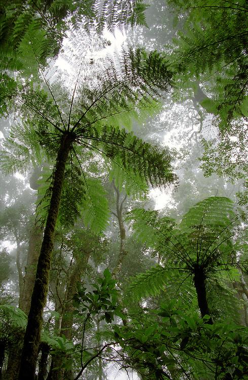 Mist and tree ferns (Cyathea cooperi) along the Border track, Lamington National Park