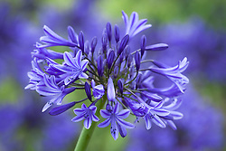 Agapanthus 'Midnight Blue'  syn. A. Navy Blue. African lily