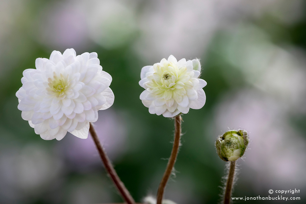 Hepatica nobilis 'Schlyters Double White'