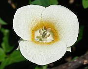 subalpine mariposa lily (Calochortus subalpina) or mountain mariposa lily, Goat Rocks Wilderness, Washington, USA