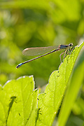 Female blue-tailed damselfly, Ischnura elegans violacea. Silhouettes of two other blue-tailed damselflies are also visible.