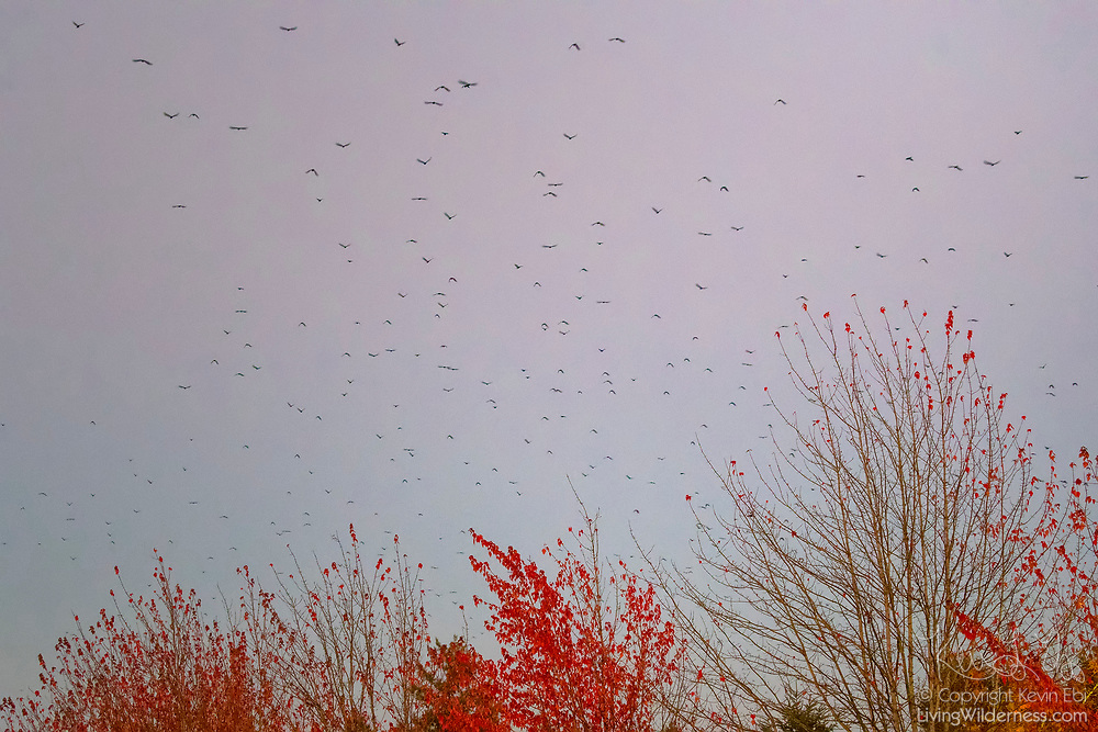An exceptionally large murder of crows (Corvus brachyrhynchos) flies over autumn trees as the birds approach their roost in Bothell, Washington. As many as 15,000 crows use the roost each night during the fall and winter months.