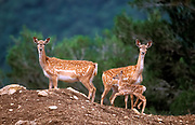 Herd of  Mesopotamian Fallow deer (Dama mesopotamica) Photographed in Israel Carmel forest This is a breading nucleus in the process of reintroduction to it's natural environment