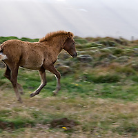 Icelandic horses are also unique for the additional gaits. A horse gait is the kind of movement which a horse can execute. The different type of gaits are: walk, trot, canter and gallop. The best icelandic horses are able to perform two more gaits, the tölt and the flying pace.