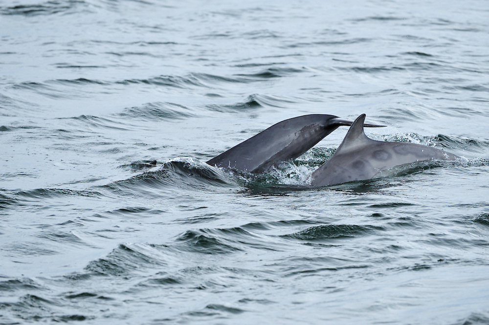 Sequence of adult female Bottle-nosed Dolphin with calf surfacing,<br /> Tursiops truncatus,<br /> Moray Firth, Nr Inverness, Scotland - May