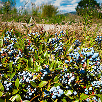 Maine blueberry field just south of Union, August 2014
