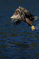 White tailed Sea eagle, Haliaetus albicilla, The Living Sea, North Atlantic, Flatanger, Nord-Trondelag, Norway