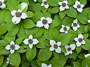 Bunchberry flowers (Cornus canadensis, or Dwarf Dogwood, Dwarf Cornel, or Crackerberry)  bloom in the forest along the trail to Rachel Lake, in Alpine Lakes Wilderness, Washington, USA. Four large white sepals frame the tight head of small yellowish flowers (which later grow into tight clusters of bright red berries/fruits).