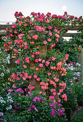 Rosa 'Anne Dakin'