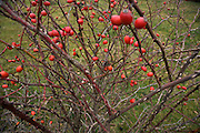 rosehips of Dog rose bush in late fall season