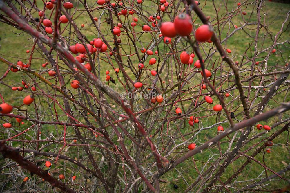 rosehips of Dog rose bush in late fall season