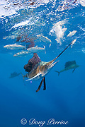 Atlantic sailfish, Istiophorus albicans, whacks sardine with bill while attacking bait ball of Spanish sardines (aka gilt sardine, pilchard, or round sardinella ), Sardinella aurita, off Yucatan Peninsula, Mexico ( Caribbean Sea ) (dm)