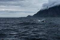Orca - Killer Whale emerges from the water off the coast of Moskenesøy, Lofoten Islands, Norway