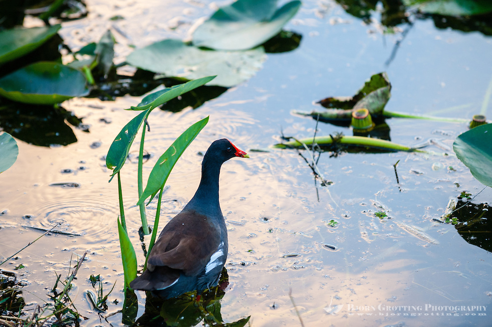 US, Florida, Everglades, Shark Valley. Common Gallinule, aka Moorhen.