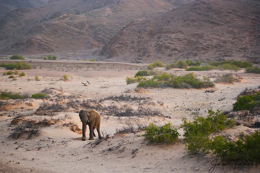 A solitary desert-adapted elephant (Loxodonta africana africana) bachelor walking in the desert, Skeleton Coast, Namibia,Africa
