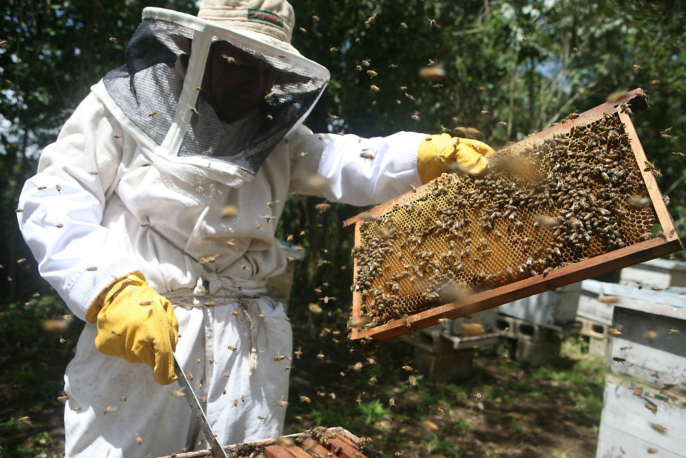 Miguel Angel García, beekeeper, opens a defensive africanised hive and to check the health of the hive frame by frame. COADAP, Cooperativa Agrícola de. Apicultores de Petén, is a certified fairtrade producer based in the Petén jungle in Guatemala.