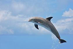 Common bottlenose dolphin calf leaping, Tursiops truncatus, captive