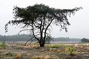 Nederland, Lunteren, 11-10-2019 Natuurgebied Het Wekeromse Zand. Een natuurgebied bij Wekerom in de provincie Gelderland. Een gebied met zandverstuivingen, vliegdennen en heide. Een voedingsarme zandgrond. Zij ligt aan de rand van de Veluwe, de veluwezoom. Er groeit struikheide die in augustus en september prachtig paars bloeit. Foto: Flip Franssen